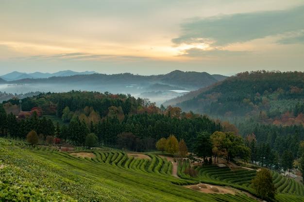 Nascer do sol no campo de chá verde