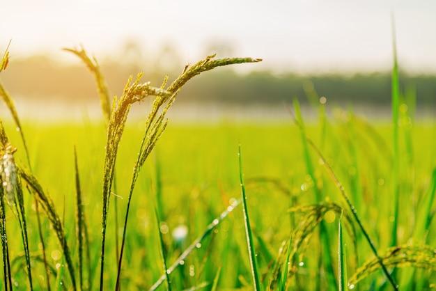 Nascer do sol ou pôr do sol da planta do campo do arroz na luz de moning