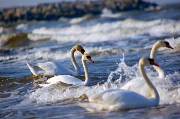 Natação cisnes