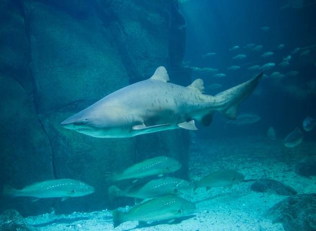 Natação de tubarão no tanque de peixes