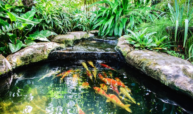 Natação extravagante da carpa ou dos peixes de koi na lagoa. aquático com jardim ornamental.