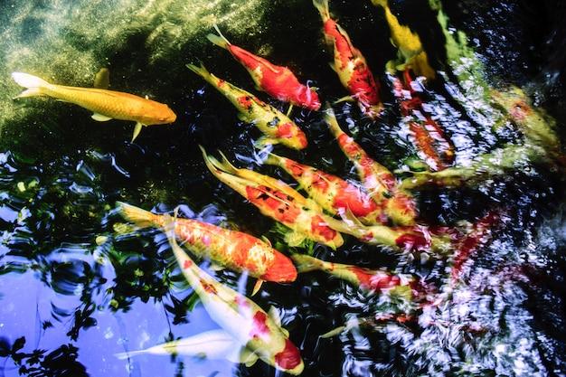 Natação extravagante da carpa ou dos peixes de koi na lagoa.
