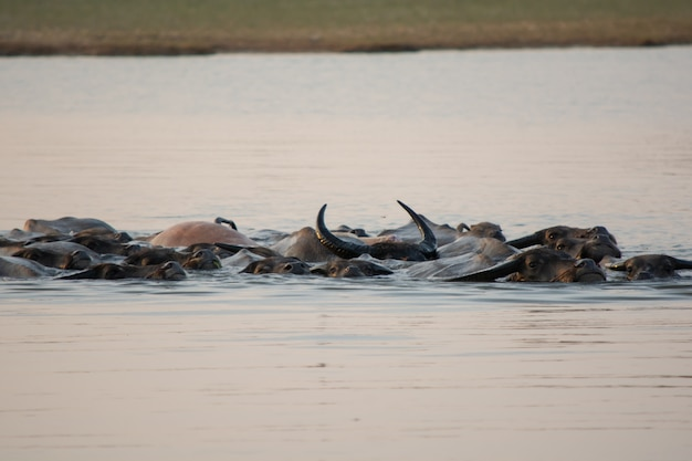 Natação tailandesa do búfalo do pântano no lago.