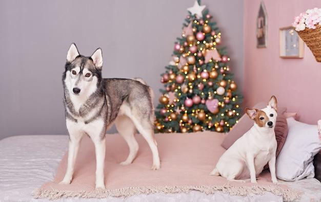 Natal jack russell terrier e rouca. conceito de hotel para animais.