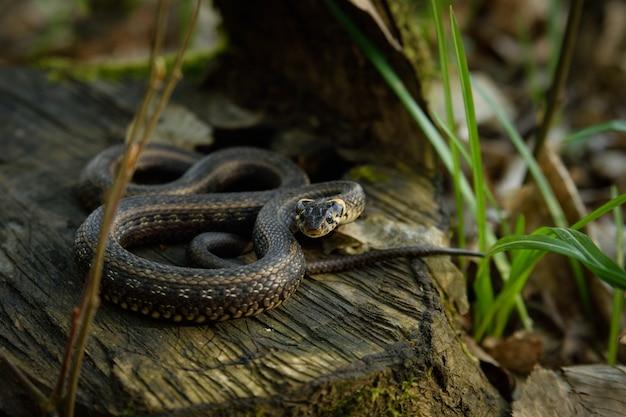 Natrix, serpente, colubridae na floresta, fim acima.