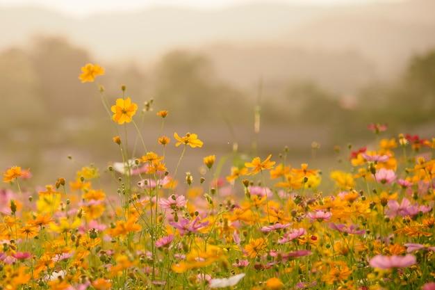 Nature beautiful cosmos prados de flores