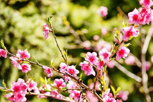 Natureza da mola, flor do pêssego, flores cor-de-rosa em ramos em um dia ensolarado, cartão bonito.