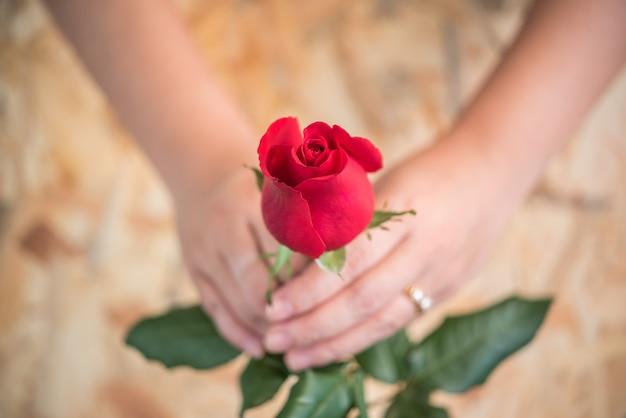 Natureza de flor rosa vermelha belas flores do jardim e mão humana segurando rosa vermelha