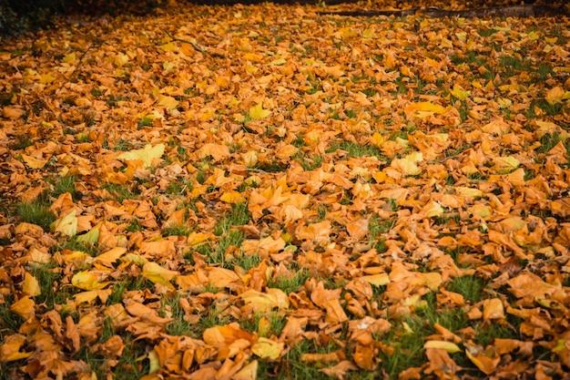 Natureza de fundo ao ar livre outono vintage linda de folhas de bordo vermelho e folhas secas caído para o gramado