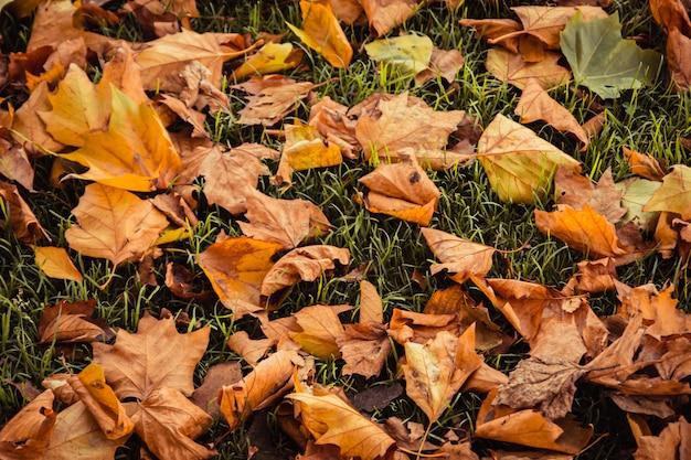 Natureza de fundo bonito ao ar livre de folhas de bordo vermelho e folhas secas caídas para o gramado ou greensward
