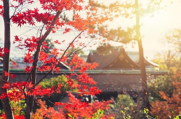 Natureza do bordo vermelho de japão do outono com fundo do templo do borrão.