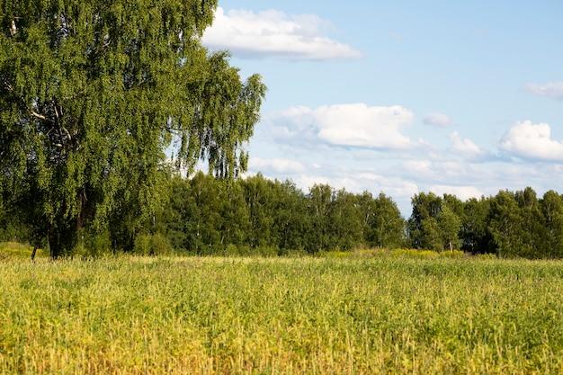 Natureza do campo russo: campo, floresta de bétulas, céu nublado.