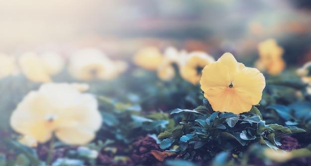 Natureza do fundo amor perfeito da flor. flores amarelas. desfoque de fundo