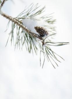 Natureza do inverno. pinha sem ramo