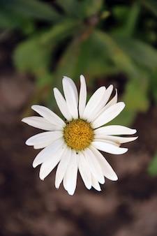 Natureza esperança bonitos flores de camomila