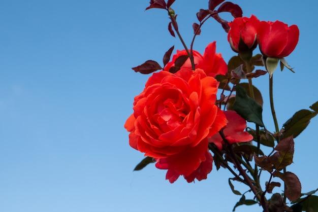 Natureza grande rosa vermelha em fundo de céu azul claro com espaço de cópia para dia dos namorados romântico