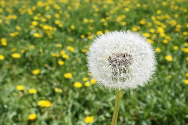 Natureza linda e sonhadora de primavera com dente de leão