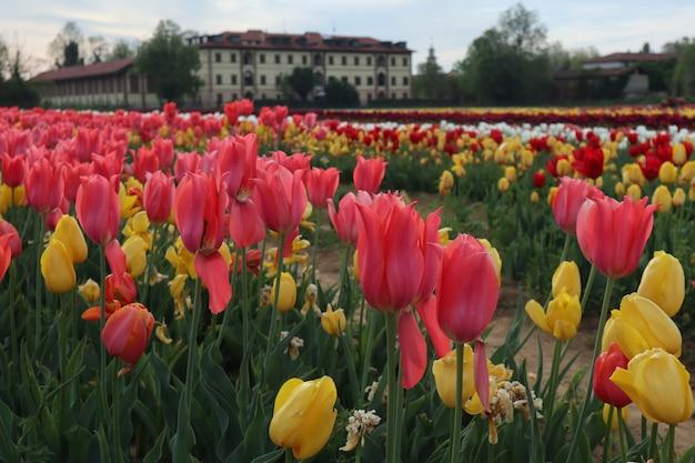 Natureza multicolor do campo de tulipas