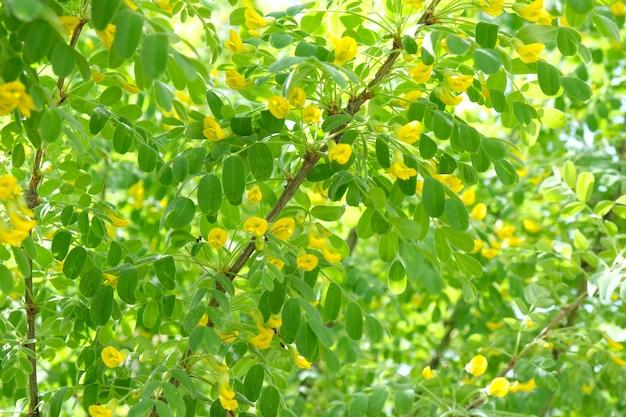 Natureza na primavera. acácia em flor.