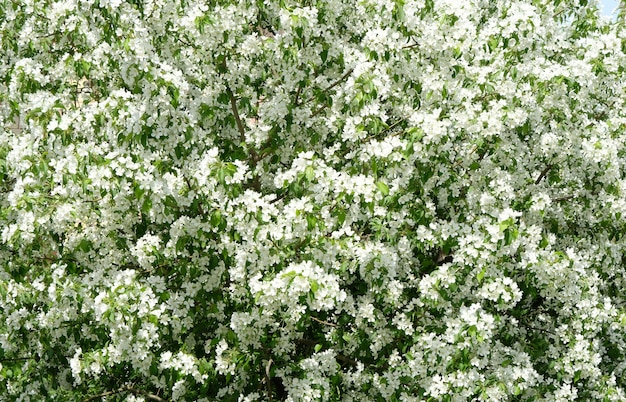 Natureza na primavera. macieira em flor.