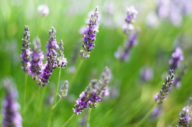 Natureza provence. campo da alfazema na luz solar com espaço da cópia. macro de flores violetas de florescência da alfazema. conceito de verão, foco seletivo