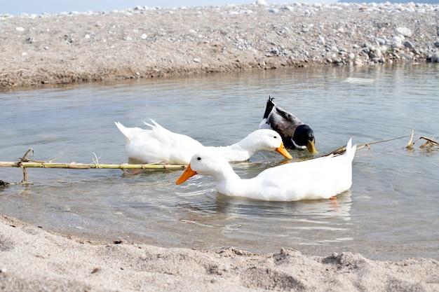 Natureza. um lago com patos flutuantes. três pássaros na água, dois brancos e um pato colorido