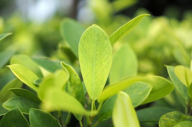 Natureza verde da folha no fundo das hortaliças. foco suave