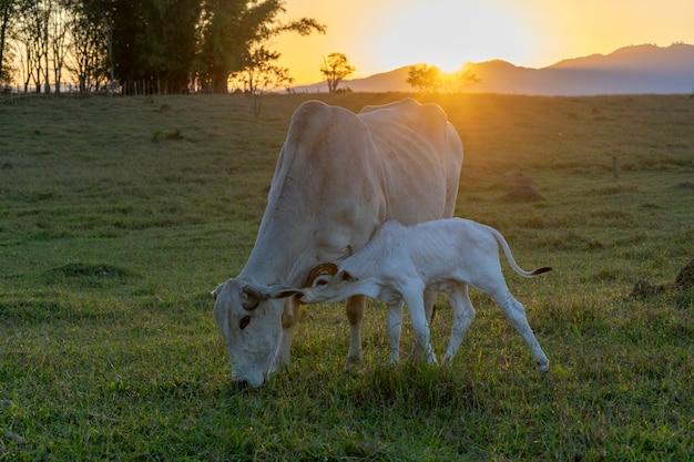 Nelore, bezerro e vaca no pasto ao pôr do sol