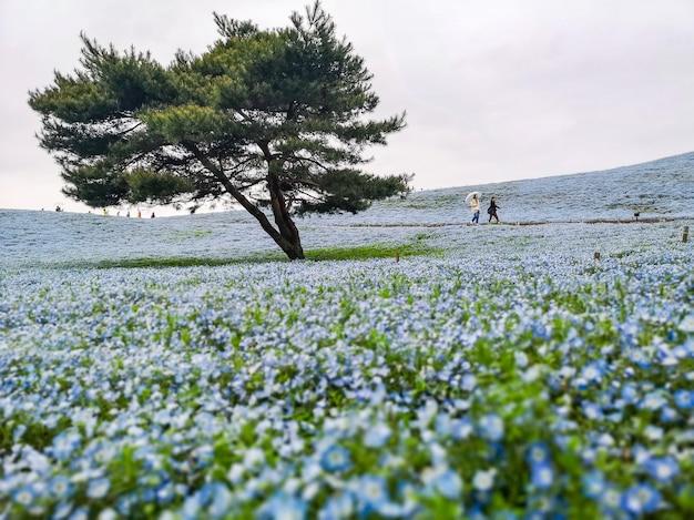 Nemophila, campo de flor no parque de beira-mar de hitachi, japão.