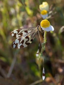 Nemoptera bipennis em seu ambiente natural.