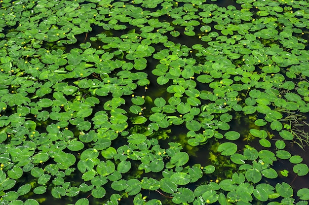 Nenúfar. fundo de lírio, textura. lagoa coberta de nenúfares. vista superior folhas verdes lótus ou nenúfar hardy planta da família nymphaeaceae na superfície escura do lago com água