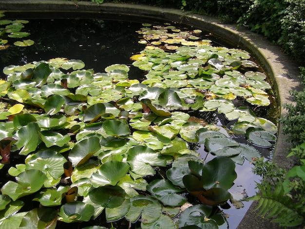Nenúfar (nymphaea) em um lago