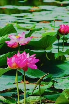 Nenúfar ou flor de lótus na lagoa de verão