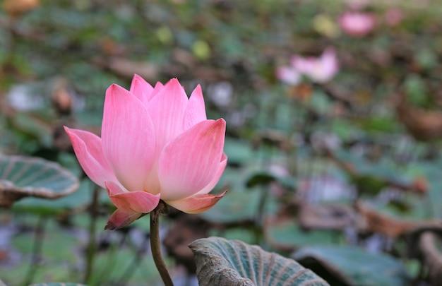 Nenúfar rosa ou flor de lótus no lago, tailândia