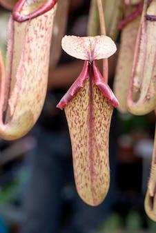 Nepenthes são plantas predatórias em fundo natural.