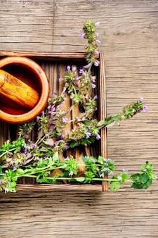 Nepeta, ervas medicinais e fitoterapia