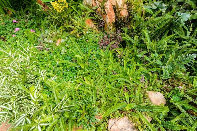 Nephrolepis exaltata (a samambaia espada) - uma espécie de samambaia da família lomariopsidaceae
