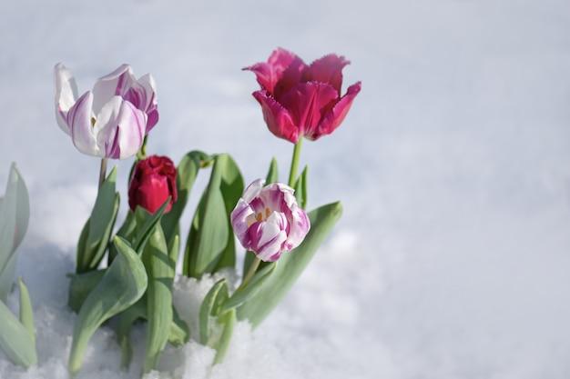 Neve caindo em flores de tulipa
