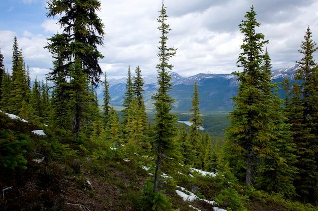 Neve coberta, trilhas, em, um, floresta, com, montanhas, em, a, fundo, carecas colinas, rastro, jasper parque nacional, alberta, canadá