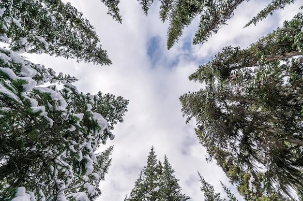 Neve em pinheiros com nuvens no fundo do céu azul