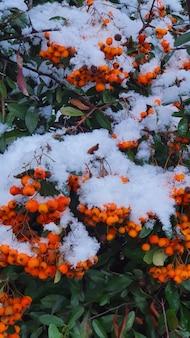 Neve nas bagas de azevinho laranja e folhas verdes no inverno.