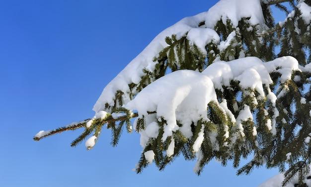 Neve no abeto