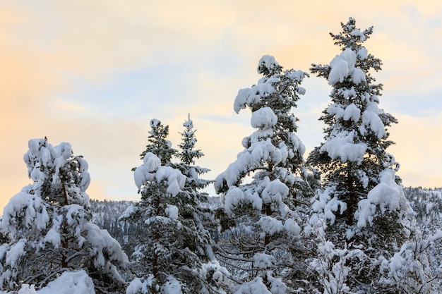 Neve nos pinheiros com um belo céu colorido