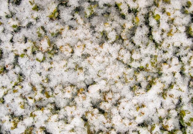 Neve recém-caída nas folhas da planta no fundo da textura do jardim natal