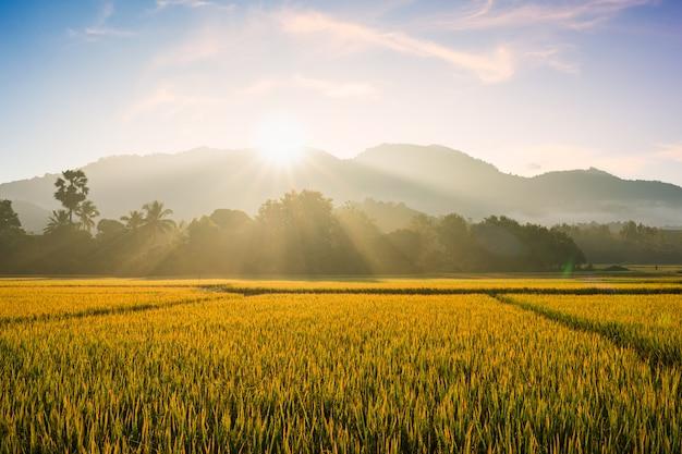 Névoa da manhã linda no campo de arroz.