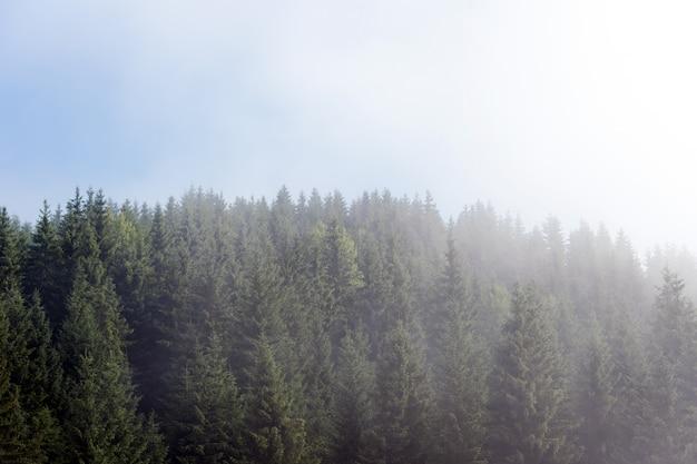Névoa enevoada na floresta de pinheiros nas encostas das montanhas nos cárpatos. paisagem com nevoeiro bonito na floresta na colina.