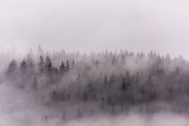 Nevoeiro acima pinhais. densa floresta de pinheiros na névoa da manhã.