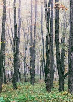 Nevoeiro na floresta de carvalho de outono