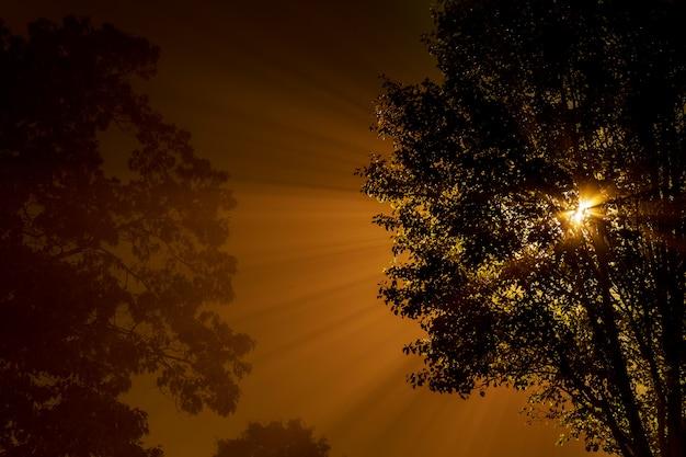 Nevoeiro na floresta misteriosa, os raios brilham através das altas árvores escuras