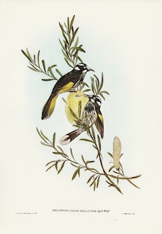 New holland honeyeater ilustrado por elizabeth gould